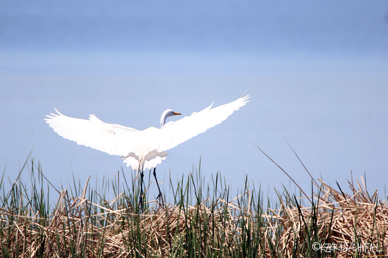 IMG_3209GreatEgret