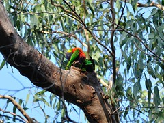 Rainbow lorikeet using tree hollow