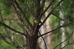 Eopsaltria australis - Eastern yellow Robin