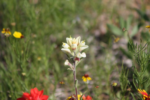 unusual color variant of Texas Paintbrush (Castilleja indivisa)