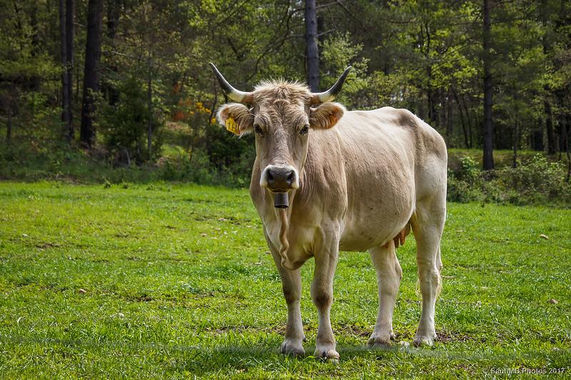 Las vacas siempre me miran