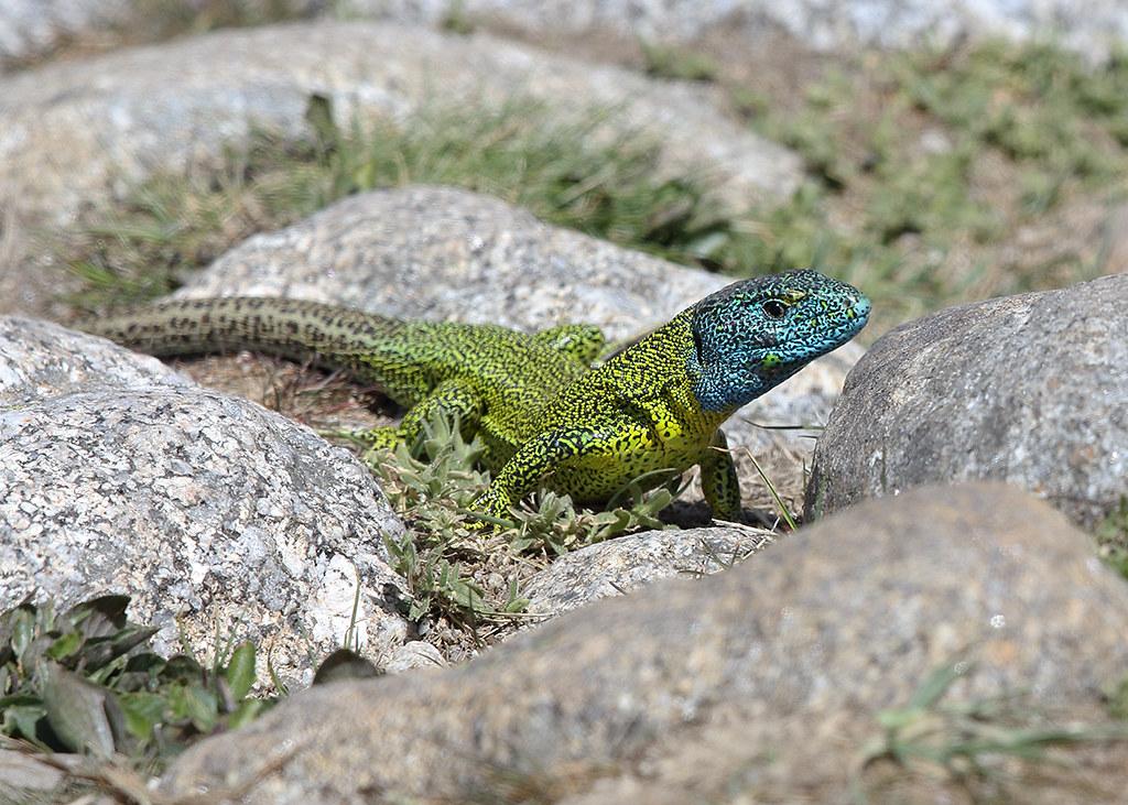 Schreiber's Green Lizard  Lacerta schreiberi