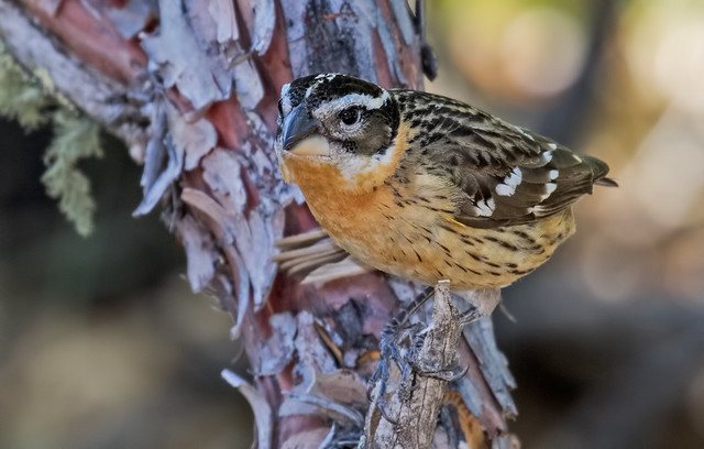 Black-headed-Grosbeak-35-7D2-051317
