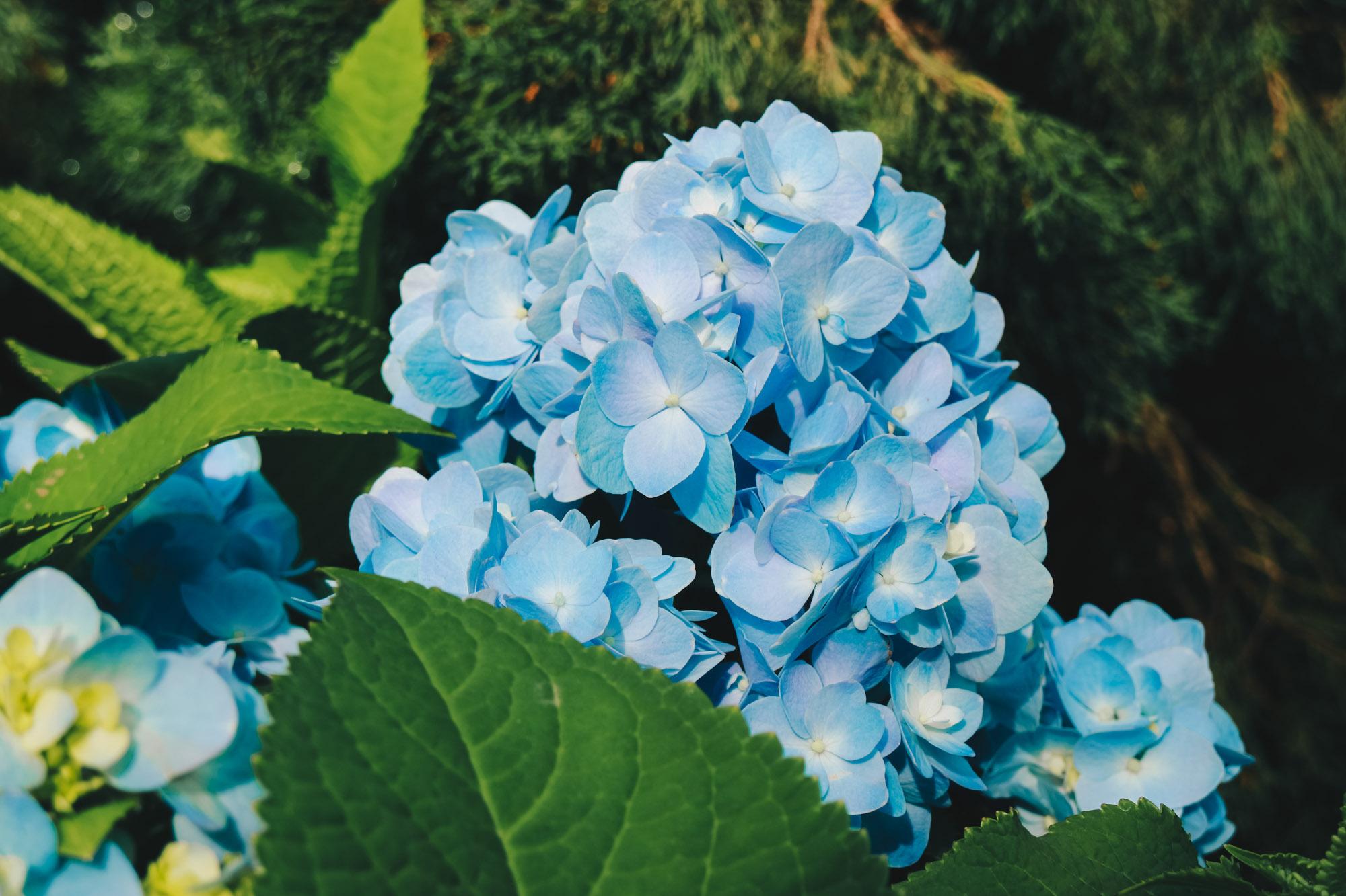 Blue-beauties-floral-display-gardensbythebay-darrenbloggie10