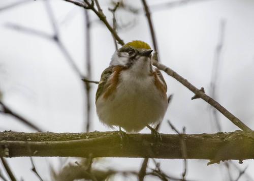 Chestnut-sided Warbler on a murky day