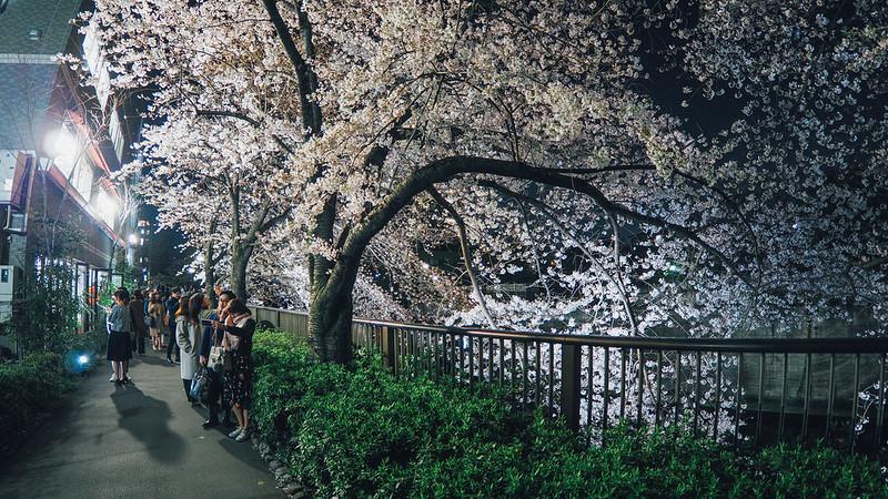 櫻花滿滿|中目黑川