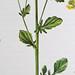 Gewoon barbarakruid / Bittercress / Barbarea vulgaris