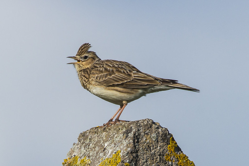 Skylark Singing Hollering