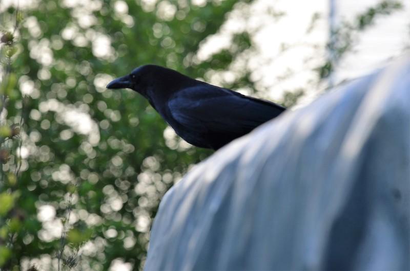 Crow 13.05 (2)
