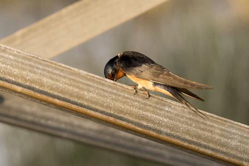 Brigantine, N.J.: Barn Swallow Pondering Life