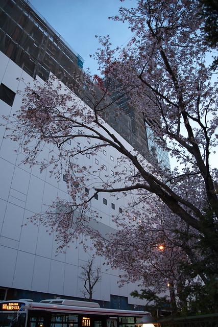 20170503札幌市中央区付近の桜_19