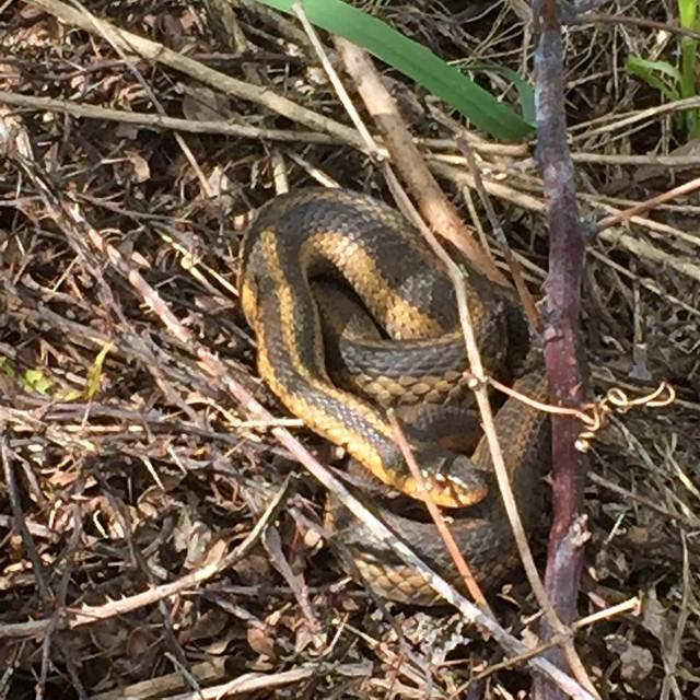 New Best Friend- Garter Snake
