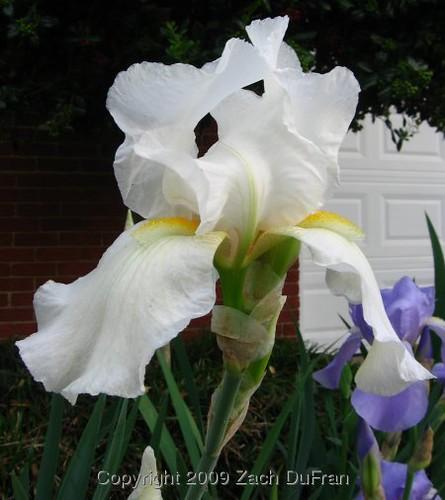 white_purple_irises