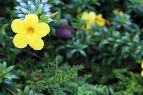 Pop of yellow in the corner of my frame at the Singapore Botanic Gardens | by saraflossy