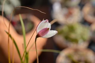 DSC_5734 Cyanella alba 'Pink' キアネラ アルバ 'ピンク'