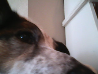 Dog Ate Whole Pig Ear