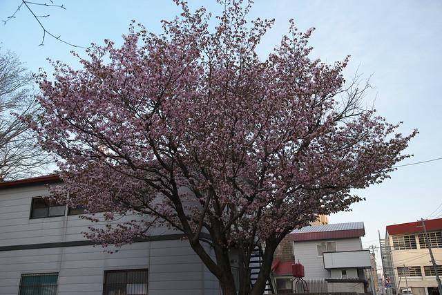 20170503札幌市中央区付近の桜_05