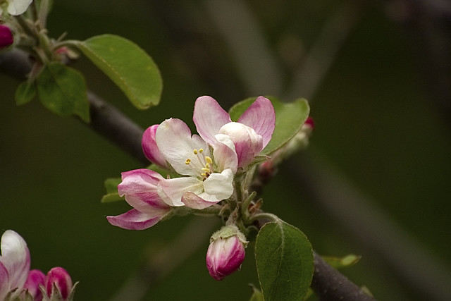 Apples have such Pretty Flowers