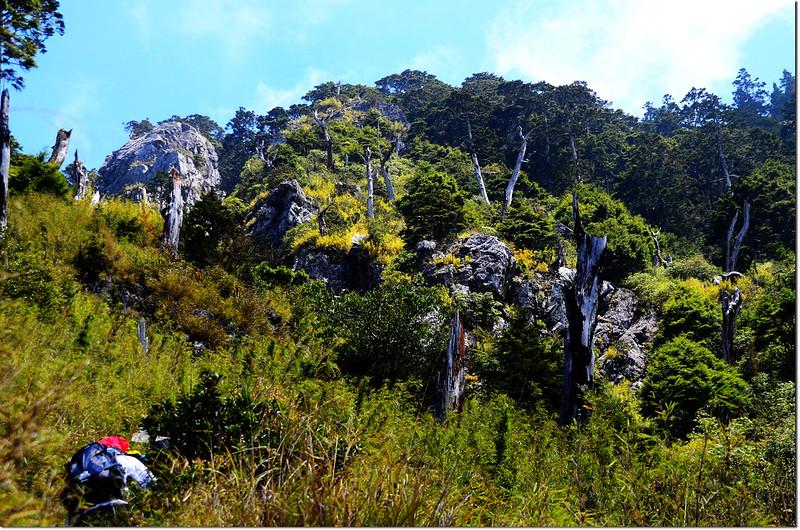 玉山前峰步道白木林 2