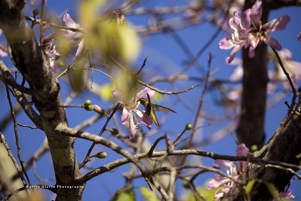 Picaflor bronceado / Gilded Sapphire