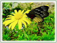 Beautiful butterfly on a yellow Coreopsis (Calliopsis, Tickseed, Pot of Gold, Yellow Cosmos), 1 March 2016