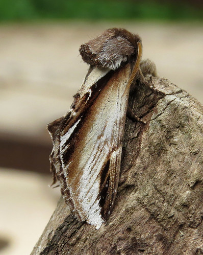 Lesser Swallow Prominent  Pheosia gnoma Tophill Low NR, East Yorkshire April 2017