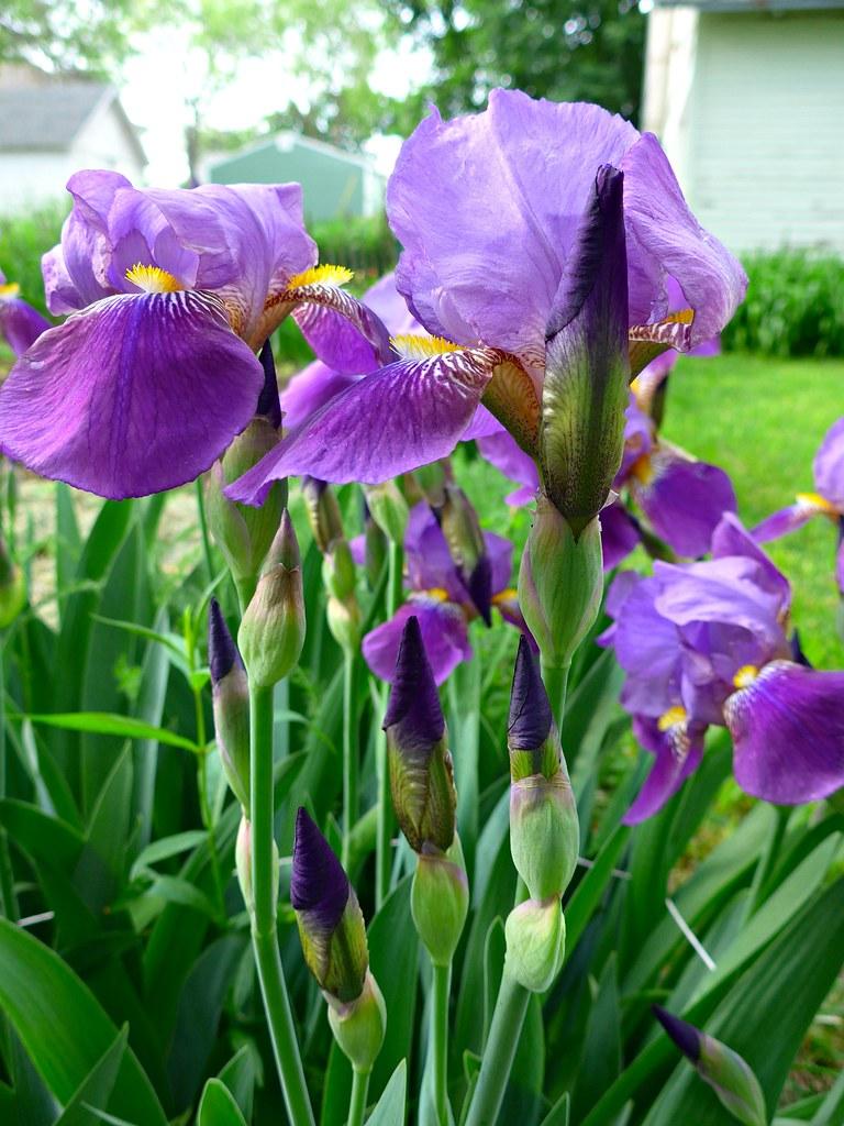 Spring Flowers Iris Ali Eminov Flickr