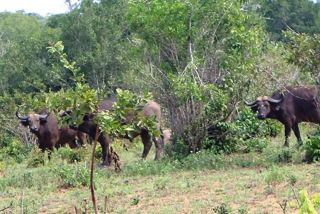 Water buffalos in abundance