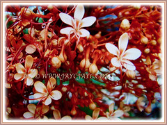 Gorgeous scarlet flowers of Clerodendrum paniculatum (Pagoda Flower, Orange Tower Flower, Hanuman Kireetam), 4 May 2017