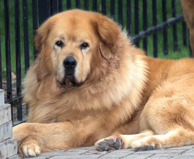 Agramonte - Tibetan Mastiff 20170503
