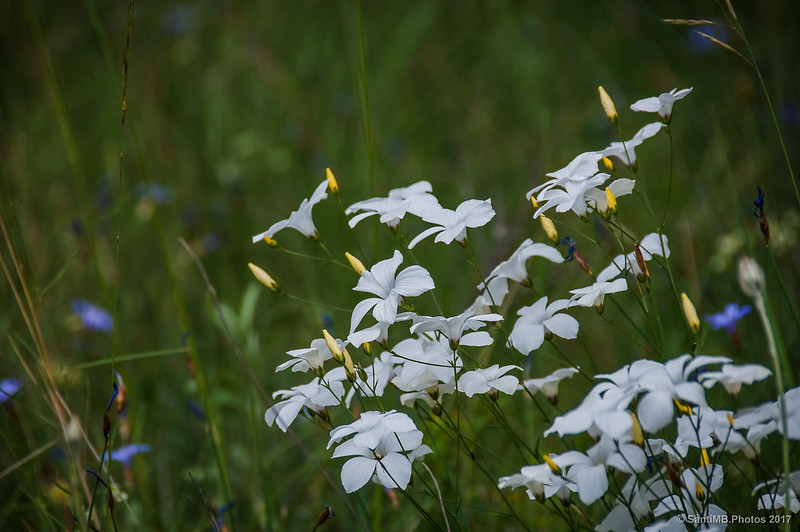 Flores de lino blanco