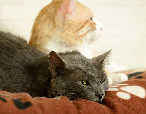Gris, gato Cruce con Cartujo tímido y tranquilo positivo a inmunodeficiencia nacido en Agosto´15, en ADOPCIÓN ESPECIAL. Valencia. 34328219460_536c754ddf