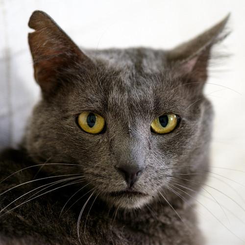 Gris, gato Cruce con Cartujo tímido y tranquilo positivo a inmunodeficiencia nacido en Agosto´15, en ADOPCIÓN ESPECIAL. Valencia. 34328225520_b9a2c0d1c5