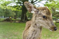 Nara Park - Kyoto Japan