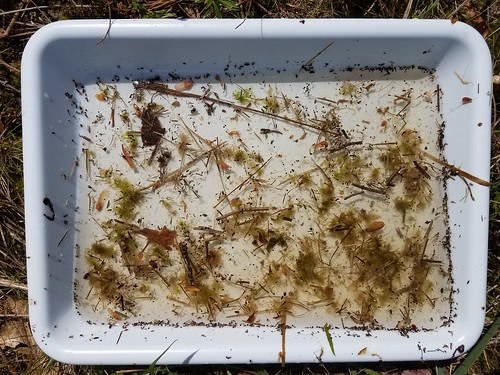 plastic pan filled with half inch of pond water, including some grass bits and aquatic insects