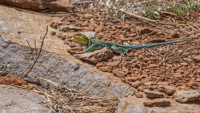 Lizard-56-7D2-050717