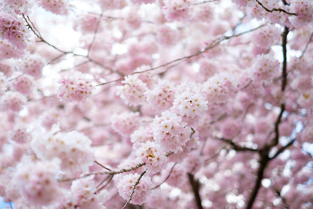 Cherry Blossoms - Seattle-5
