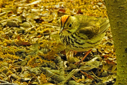 Central Park: Ovenbird in the Shade
