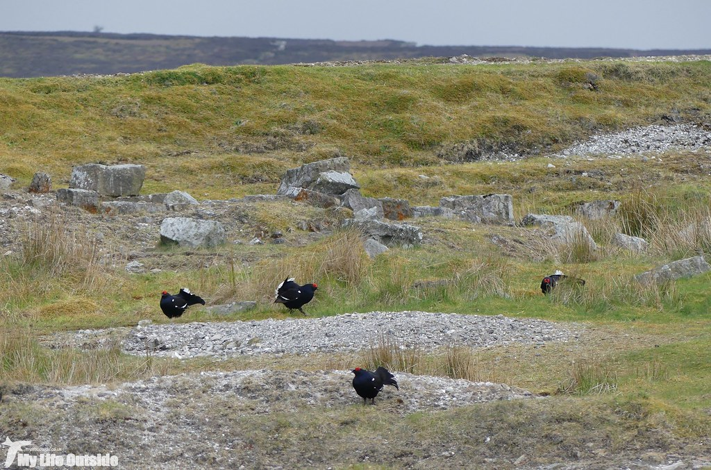 P1070708 - Black Grouse, World's End
