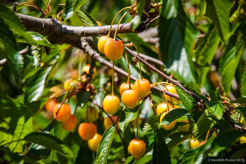 Cerezas madurando en el árbol