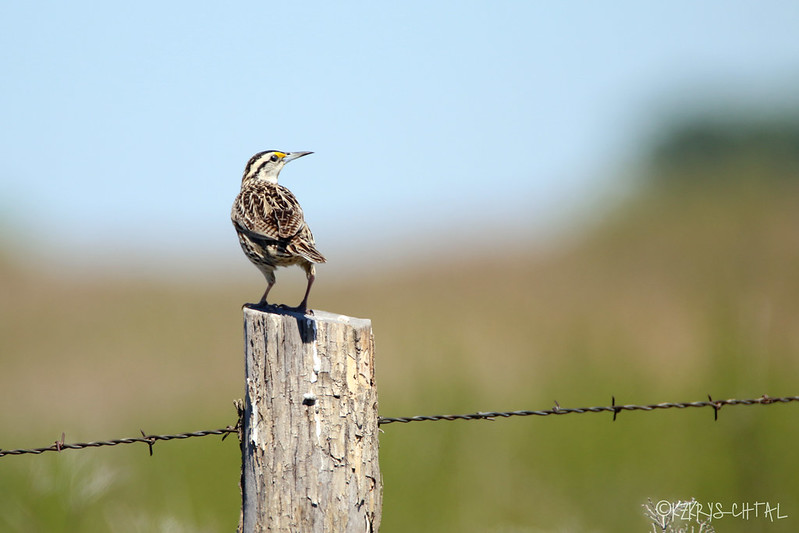 IMG_2802EasternMeadowlark