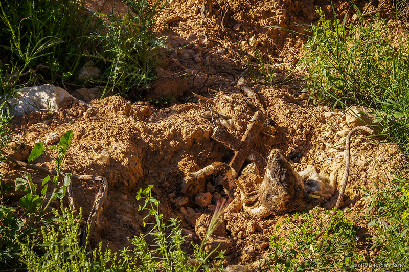 Un cordero muerto cerca del Bultaco Camp