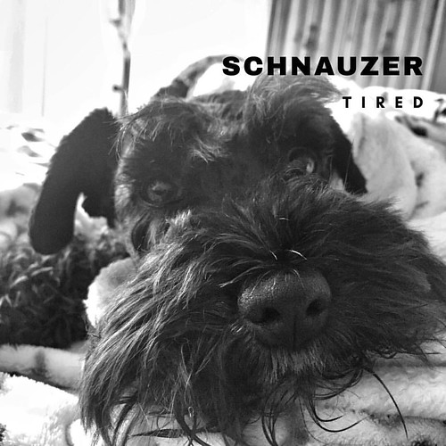 #schnauzer | by Todd_Williams