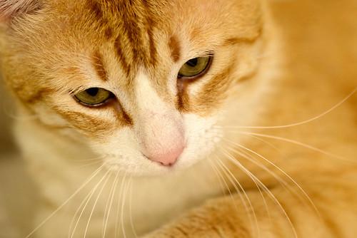 Robin, gato blanco y naranja guapo y súper dulce esterilizado, +inmunodeficiencia nacido en Marzo´15, en ADOPCIÓN ESPECIAL. Valencia. ADOPTADO. 34581645311_dbaeaa03ca
