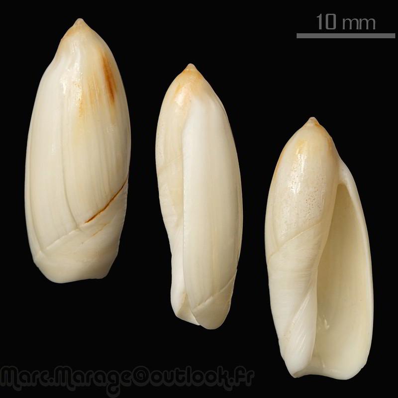 Ancilla ampla - (Gmelin, 1791) 34770175915_dcf70bba77_c