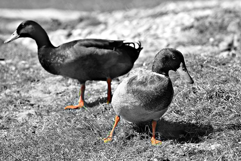 Ducks 23.04 (4)