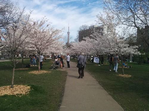 Sakura of Trinity-Bellwoods, 5 #toronto #trinitybellwoods #parks #spring #cherryblossom #sakura