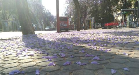 Jacarandas-Flores-Caídas