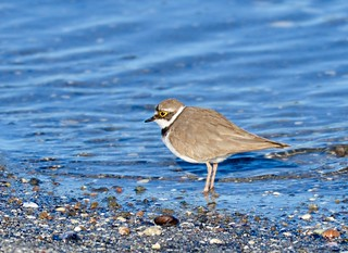 Dverglo-Little ringed plover | by Agnar Lavik