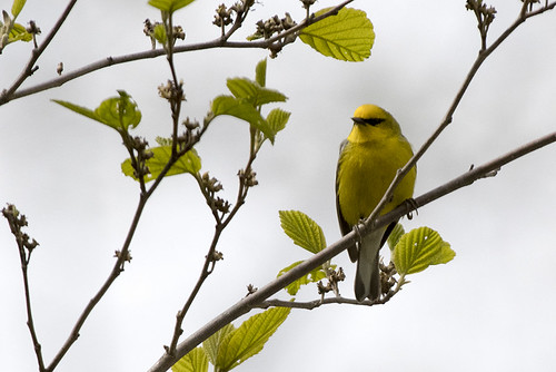 Sterling Forest, N.Y.: Blue-winged Warbler Posing